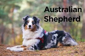 australian shepherd quiz how rare is your knowledge of dog breeds cetusnews