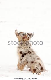 australian shepherd yorkie puppies australian shepherd puppy sitting in stock photos u0026 australian