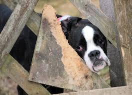 bulldog y boxer fotos gratis en blanco y negro ver mascota boxer triste