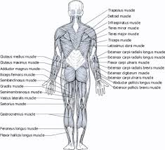 muscle map worksheet human anatomy chart