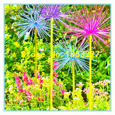 compare prices on ornamental alliums shopping buy low