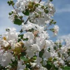 flowering trees for sale nature nursery