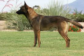 belgian shepherd quotes survivors of narakav sign up thread other animals feralfront