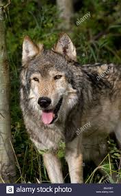 close up of a gray wolf standing in the woodlands animals