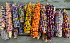 plants native to america this all natural native corn is bejeweled with brilliantly