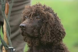 american eskimo dog ireland irish dog breeds picture gallery dogtime