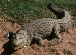 imagenes de animales carnivoros para imprimir los animales clasificación la naturaleza