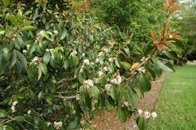 Tropical Fragrant Plants Fairchild Tropical Botanic Garden U003e Home Gardening U003e Creating A