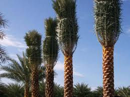 sylvester palm tree prices locate find wholesale plants plantant