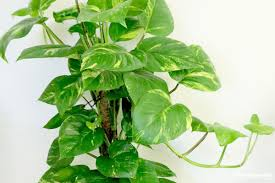 philodendron houseplant types how to grow care and plant