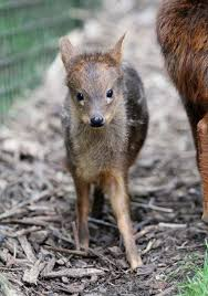 afghan hound giving birth zoo saves pudú fawn whose mother dies after giving birth neatorama