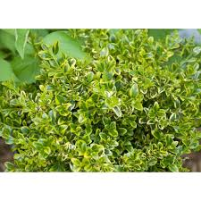 wedding ring depot proven winners 4 5 in qt wedding ring boxwood buxus live
