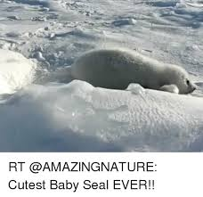 Baby Seal Meme - rt cutest baby seal ever meme on me me