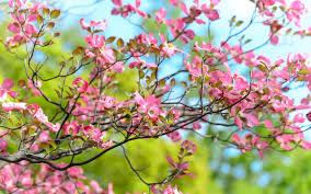 download wallpaper 3840x2400 tree flower bloom branch ultra hd