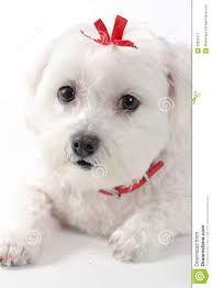 dog ribbon puppy dog with ribbon stock image image 32859111