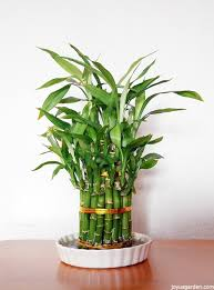 a houseplant that grows in water lucky bamboo care tips