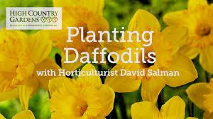 cheerfulness daffodil bulbs narcissus cheerfulness double