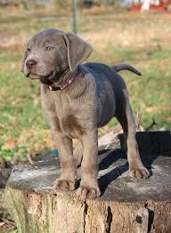 lab puppies pic