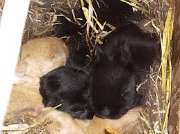 fostering kits rise and shine rabbitry