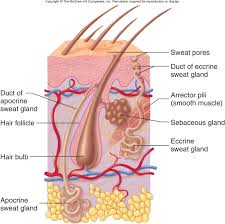 anatomy of the hair follicle choice image learn human anatomy image