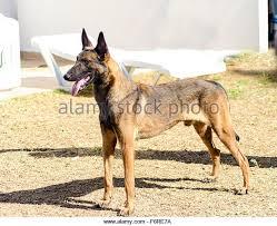 belgian malinois jet black military working dog stock photos u0026 military working dog stock