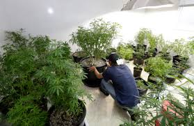native pot plants tribal marijuana archives medical marijuana