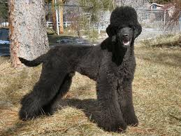 standard poodle hair styles wanna help with our first stylized clip poodle forum standard