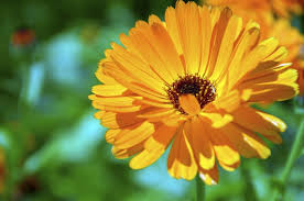 Yellow Orange Flowers - calendula flower how to grow calendulas