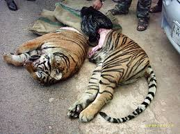 home interior tiger picture how chinese medicine is killing off the tiger eluxe magazine