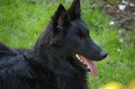 belgian sheepdog guard dog belgian shepherd dog breed information and pictures