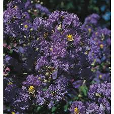 Shop 2 25 Gallon Purple Magic Crape Myrtle Flowering Shrub L24800