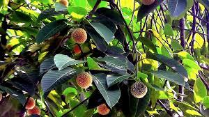 most beautiful flower in the world neolamarckia cadamba কদম