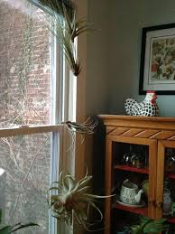 Air Plant Wall Holder Hanging Plants Without The Hangers Garden Rant