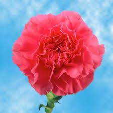 bulk carnations bulk pink carnations global