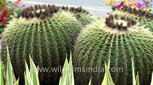 cactus as an ornamental plant