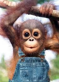 Baby Monkey Meme - the 25 best monkeys ideas on pinterest baby orangutan animals