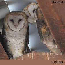 North American Barn Owl Barn Owl North American Birds Birds Of North America