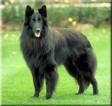 belgian shepherd 4 types belgian shepherd dog groenendael breed information and pictures