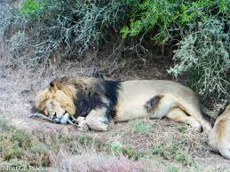 10 surprising facts lions learned safari