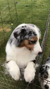 double r australian shepherds wind spirit rod u0027s amazing grace home facebook