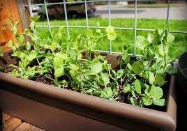 Container Gardening Peas - new wave domesticity 10 plants perfect for containers