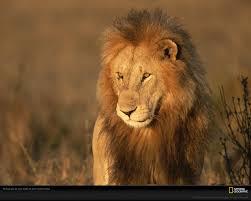 masai mara lion photo lion wallpaper download photos