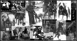 american stanford terrier y american pitbull terrier image012 jpg