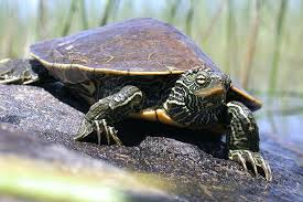 map turtle northern map turtle wildlife preservation canada