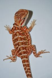small crimson red leather dunner bearded dragon