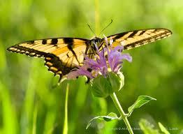 0006lrk eastern tiger swallowtail butterfly on bergamot world 0006lrk eastern tiger swallowtail butterfly on bergamot