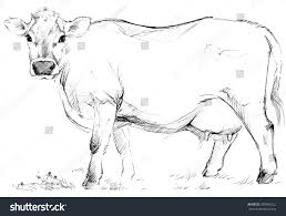 dairy cow pencil sketch animal farm stock illustration 390966322