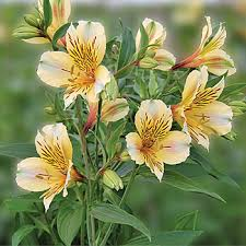 peruvian lilies yellow bulk peruvian lilies farm fresh exports