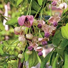 silver bells chocolate vine for sale at wayside