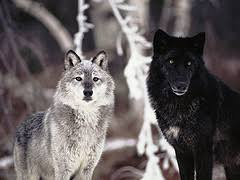 wolves images grey and black wolves wallpaper and background photos